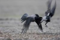 Wrony siwe (Corvus cornix)