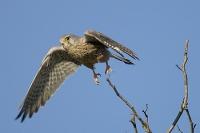 Pustułka (Falco tinnunculus)