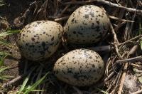 Gniazdo szablodzioba (Recurvirostra avosetta)
