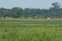 Wypas bydła i koni - PN Ujście Warty