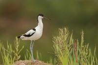 Szablodziób (Recurvirostra avosetta)