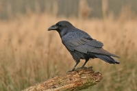 Kruk (Corvus corax)