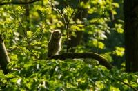 Puszczyk uralski (Strix uralensis)