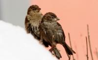 Wróbel zwyczajny (Passer domesticus)