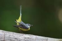 Pliszka górska (Motacilla cinerea)