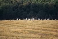Żurawie (Grus grus)