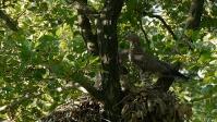 Trzmielojad (Pernis apivorus)
