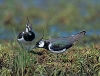 Czajki (Vanellus vanellus)