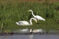 Czapla biała i łabędź krzykliwy (Egretta alba et Cygnus cygnus)