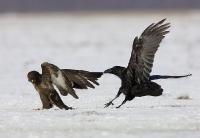 Myszołów i kruk (Buteo buteo et corvus corax)
