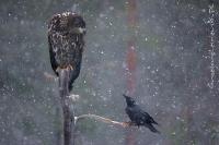 Bielik i kruk (Haliaeetus albicilla et Corvus corax)
