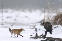 Bielik i lis (Haliaeetus albicilla et Vulpes vulpes)