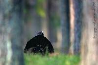 Głuszec (Tetrao urogallus)