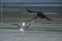 Mewa srebrzysta i kruk (Larus argentatus et Corvus corax)