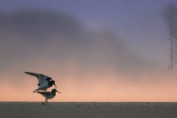 Ostrygojad (Haematopus ostralegus)