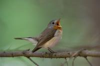 Muchołówka mała (Ficedula parva)