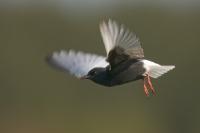 Rybitwa białoskrzydła (Chlidonias leucopterus)