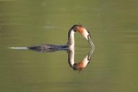Perkoz dwuczuby (Podiceps cristatus)