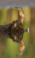 Zimorodek (Alcedo atthis)