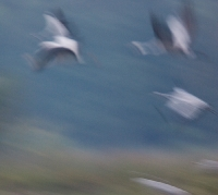 Żuraw (Grus grus)