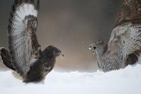 Jastrząb (Accipiter gentilis) i Myszołów (Buteo buteo)
