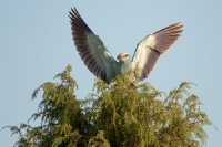 Kraska (Coracias garrulus)